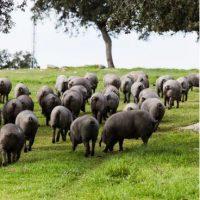 cerdos sierra de monesterio